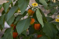 Ogrodowy czerwony kwiat Okwitnięcie w wczesnej jesieni ziele Fotografia Stock