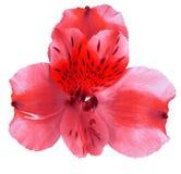 Ogrodowy czerwony storczykowy kwiat odizolowywający na białym tle Zakończenie Makro- bell świątecznej element projektu Obraz Royalty Free