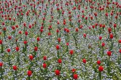 ogrodowy czerwony tulipan zdjęcie royalty free