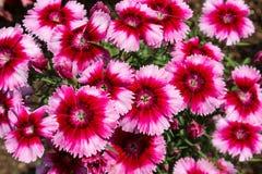 Ogrodowy Dianthus Obrazy Stock