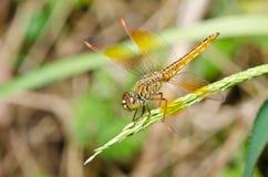 ogrodowy dragonfly kolor żółty Fotografia Stock