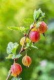 Ogrodowy jagodowy krzaków agrestów ordynariusza lat Grossularia uva Zdjęcia Stock