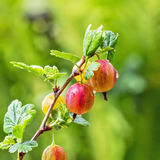 Ogrodowy jagodowy krzaków agrestów ordynariusza lat Grossularia uva Zdjęcia Royalty Free