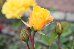 OGRODOWY kolor żółty zieleni I róży pączków ZAMKNIĘTY UP obraz stock
