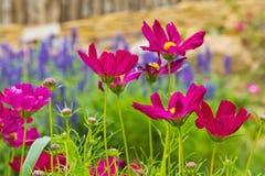 Ogrodowy kosmos lub meksykanina aster kwiaty Zdjęcia Stock