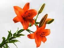 Ogrodowy kwiat Zdjęcia Royalty Free