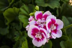 Ogrodowy kwiat Fotografia Stock