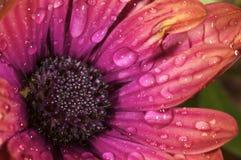 Ogrodowy kwiat po ulewy Zdjęcia Royalty Free