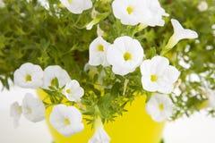 Ogrodowy kwiatu garnek z białą petuni rośliną odizolowywającą na bielu Zdjęcie Stock