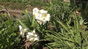 Ogrodowy leluja biel