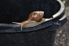 ogrodowy ślimaczek Obraz Royalty Free