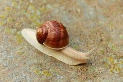 Ogrodowy ślimaczek Zdjęcie Stock