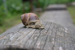 Ogrodowy ślimaczek na starej beli Zdjęcie Stock