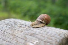 Ogrodowy ślimaczek na starej beli Zdjęcie Royalty Free