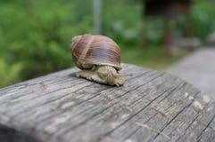 Ogrodowy ślimaczek na starej beli Fotografia Royalty Free