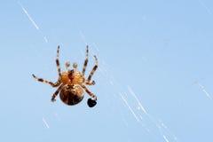ogrodowy okręgu pająka tkacz Obrazy Royalty Free