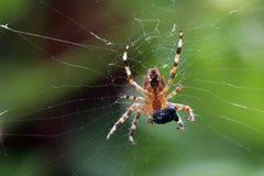 ogrodowy okręgu pająka tkacz Obrazy Stock