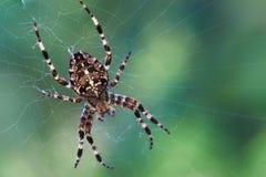 ogrodowy pająk Zdjęcie Royalty Free