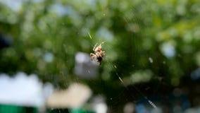 Ogrodowy pająk tropi swój zdobycza w na wolnym powietrzu, pająk je swój zdobycza w światło słoneczne na sieci, pajęczak łapie ins zbiory