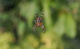 Ogrodowy pająk w centrum sieć Zdjęcia Royalty Free