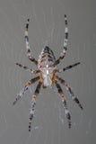 Ogrodowy pająk w jej sieci Zdjęcia Royalty Free