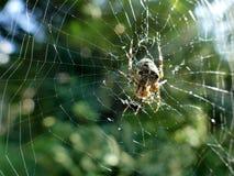 Ogrodowy pająk w pajęczynie z słońcem migocze w zamazanym tle Obraz Stock