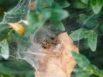 Ogrodowy pająk w pajęczyny zakończeniu up fotografia stock