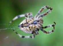 ogrodowy pająk Fotografia Stock