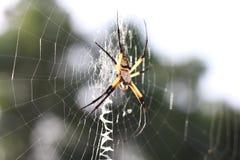 Ogrodowy pająk Zdjęcia Royalty Free