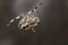 Ogrodowy pająk Araneus diadematus Fotografia Stock