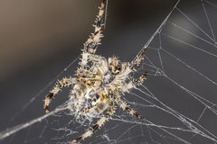 Ogrodowy pająk Araneus diadematus Obrazy Royalty Free