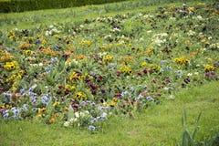 Ogrodowy pansy Zdjęcie Stock