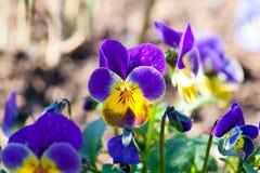 Ogrodowy pansy pansies, altówka, altówka tricolor (,) Fotografia Stock