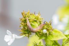 Ogrodowy podrożec czołganie na zielonej kwiat roślinie Obrazy Royalty Free