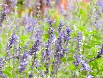 Ogrodowy pole lawendowi kwiaty obraz stock