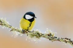 Ogrodowy ptasi Wielki Tit, Parus ptaka śpiewającego obsiadanie na ładnej liszaj gałąź, ważny, czarny i żółty, czech Ptak w naturz Zdjęcia Stock