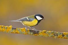 Ogrodowy ptasi Wielki Tit, Parus ptaka śpiewającego obsiadanie na ładnej liszaj gałąź, ważny, czarny i żółty, czech Ptak w naturz Obrazy Royalty Free