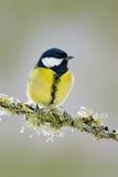 Ogrodowy ptasi Wielki Tit, Parus ptaka śpiewającego obsiadanie na ładnej liszaj gałąź, ważny, czarny i żółty, czech Ptak w naturz Zdjęcie Stock
