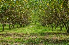 Ogrodowy rolny morwowy drzewo Obrazy Royalty Free