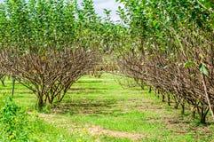 Ogrodowy rolny morwowy drzewo Obraz Stock