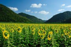 ogrodowy słonecznik zdjęcia stock