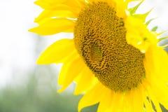 ogrodowy słonecznik Zakończenie Organicznie, gospodarstwo rolne fotografia stock