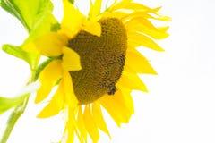 ogrodowy słonecznik Zakończenie Organicznie, gospodarstwo rolne obraz stock