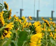 ogrodowy słonecznik Fotografia Stock