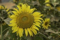 ogrodowy słonecznik Zdjęcia Royalty Free