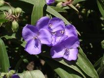 Ogrodowy tradeskanci błękit kwitnie i pączkuje (trzykrotki) Obrazy Stock