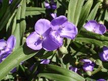 Ogrodowy tradeskancja fiołek kwitnie i pączkuje (trzykrotki) Zdjęcie Royalty Free