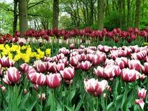ogrodowy tulipan Obrazy Stock