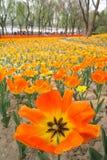 ogrodowy tulipan Zdjęcie Stock