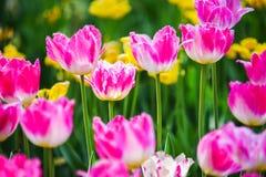 ogrodowy tulipan Zdjęcia Stock